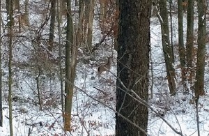 A sub-legal 5-point taunts me with a broadside shot at 40 yards on the opening day of deer season.